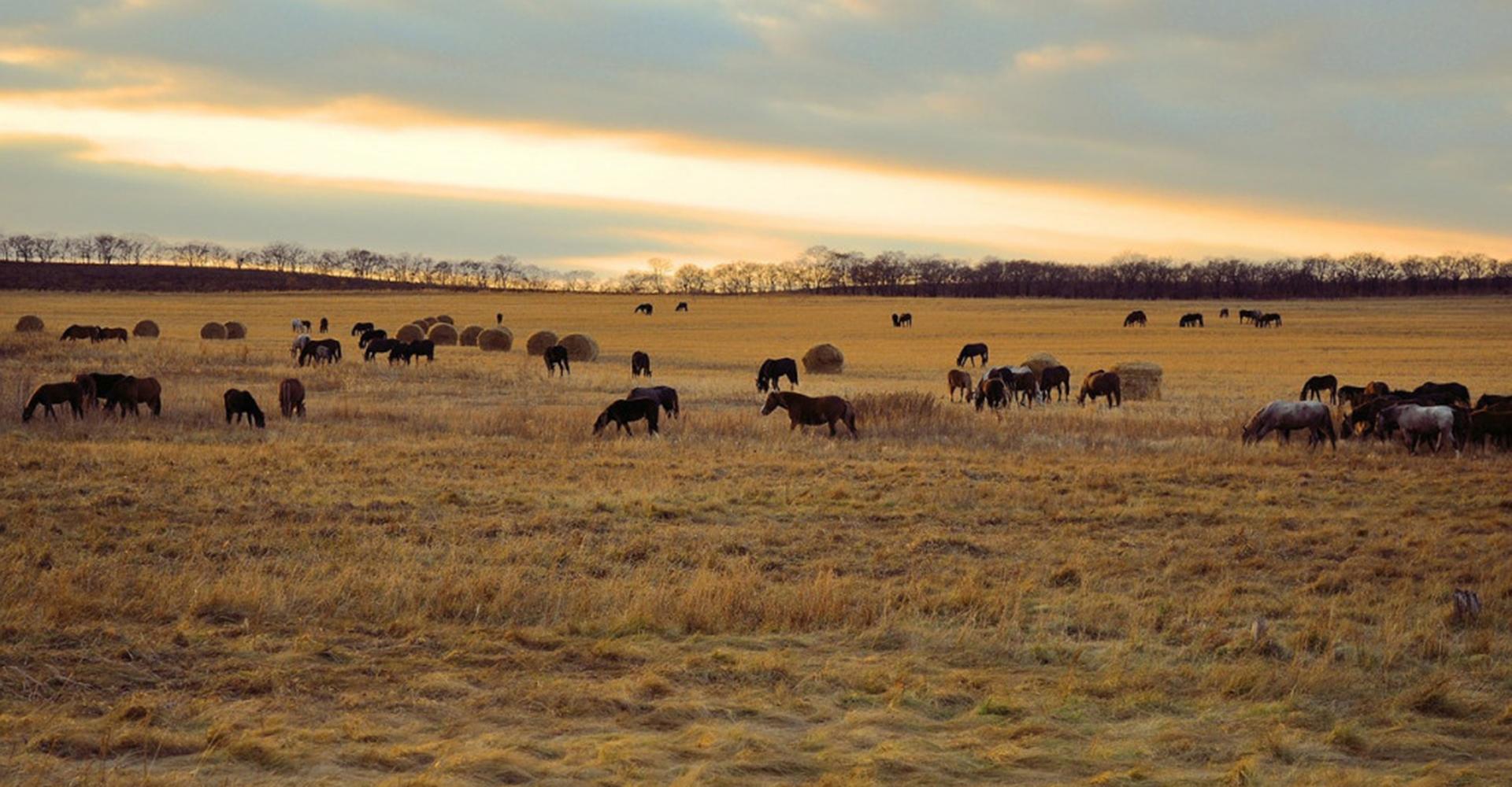 field-of-horses-1024x680crop